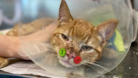 Vet uses buttons to fix cat's jaw fractures after dog attack