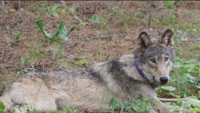 Wolf tracked near Yosemite for 1st time in 100 years