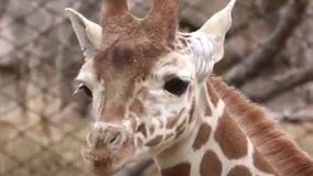 Young giraffe enjoys the outdoors for the first time at Indianapolis Zoo
