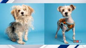 Abandoned Shih-Tzu gets makeover, hopes to find forever home