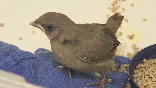 Arizona wildlife expert talks what to do if you've seen a fallen baby bird