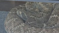 April is an active month for rattlesnakes