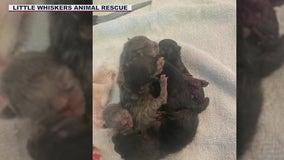 Five conjoined kittens born in Arizona animal rescue