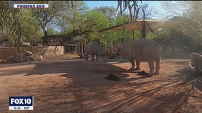 Friendship begins to take shape for rhinos at Phoenix Zoo