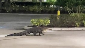 Alligator takes a stroll through Publix parking lot in Florida