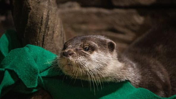 Georgia Aquarium: Otters test positive for virus that causes COVID-19