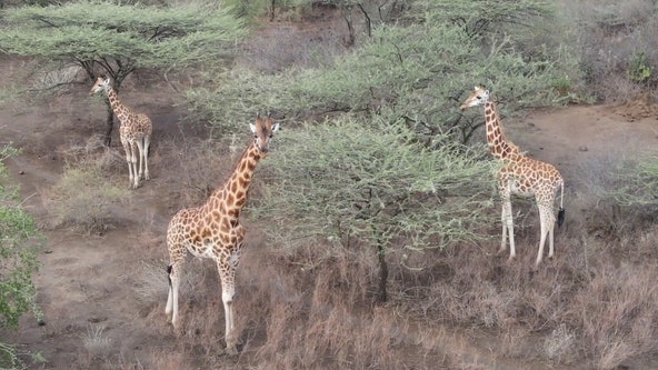 Endangered giraffes rescued from shrinking, flooded island in Kenya