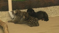 Baby jaguar, baby screamer bird at Wildlife World Zoo