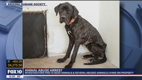 Emaciated Great Dane rescued from neglect; Phoenix woman arrested