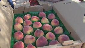 Picking peaches at Schnepf Farms