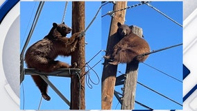 Loose bear spotted on power poles in southern Arizona