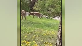Pack of roaming coyotes leaves Detroit neighborhood rattled