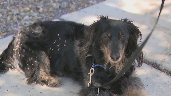 Dogs in Vistancia neighborhood dealing with mystery illness