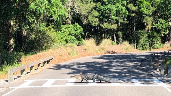 SC man captures video of law-abiding alligator using crosswalk