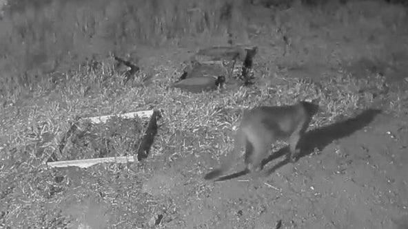 Mountain lion spotted roaming residential streets of San Francisco