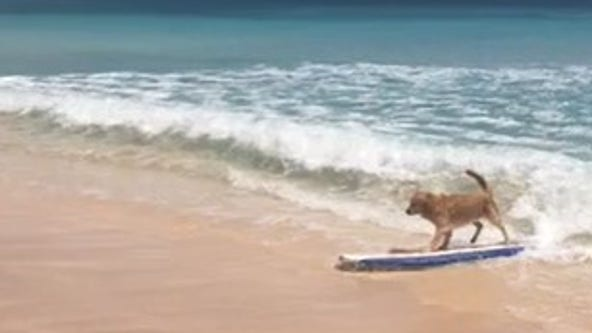 Viral video shows golden retriever surfing along beach