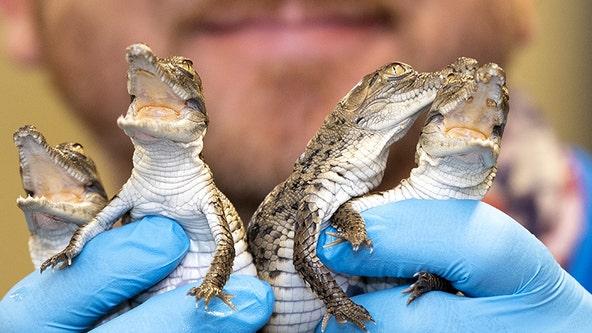 Critically endangered crocodiles hatch at Zoo Miami