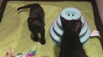 Baby shower held for homeless kittens in Tempe