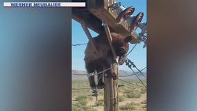 Caught on video: Bear gets stuck on utility pole in Cochise County
