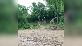 Video shows giraffe 'zoomies' on World Giraffe Day at Ohio zoo