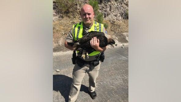 Arizona DPS trooper rescues injured eagle on I-17 near Camp Verde