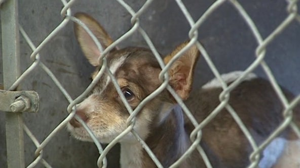 Arizona Humane Society sees rise of distemper cases in dogs