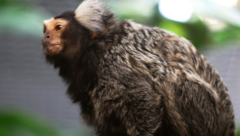 A marmoset monkey is seen at the Warsaw Zoo