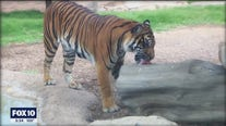 Phoenix Zoo celebrates Global Tiger Day with their residential big cats