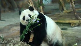 Giant pandas no longer endangered but still vulnerable, China says