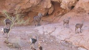 Reward offered in search for Arizona bighorn sheep poachers