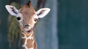 Busch Gardens giraffe 'Stanley' born on same day the Bolts won second Cup within a year