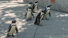 7 African penguins die at The Florida Aquarium