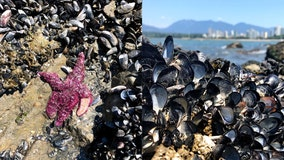 Pacific Northwest heat wave likely killed 'billions' of marine animals, experts say