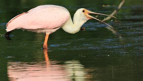 A Michigan first; rare pink spoonbill found in Saline stream