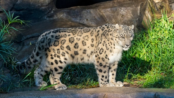 Snow leopard at San Diego Zoo suspected of having COVID-19, results pending