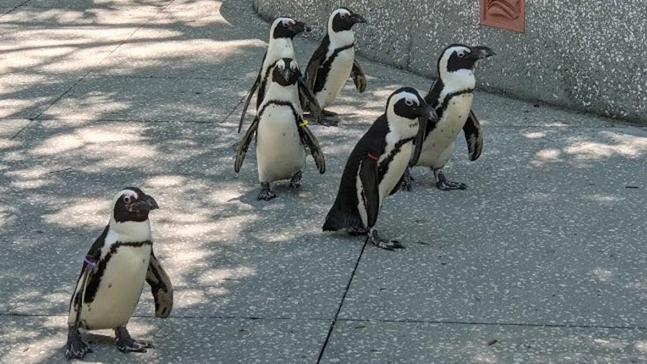 florida aquarium penguins wtvt