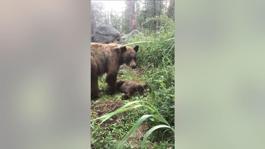 yosemite bear mom baby cub