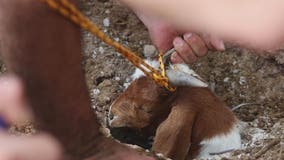 Goat rescued after falling into 250-foot long irrigation pipe in west Phoenix
