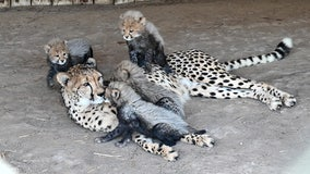 Virginia zoo announces births of three new cheetah litters