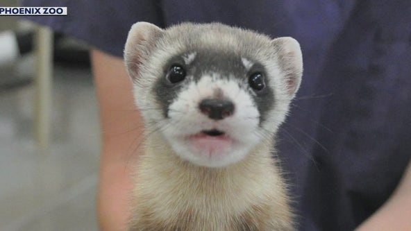 Help the Phoenix Zoo name their new litter of black-footed ferrets