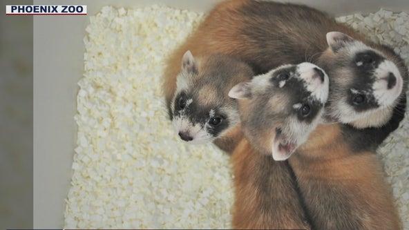Phoenix Zoo needs help naming ferret litter