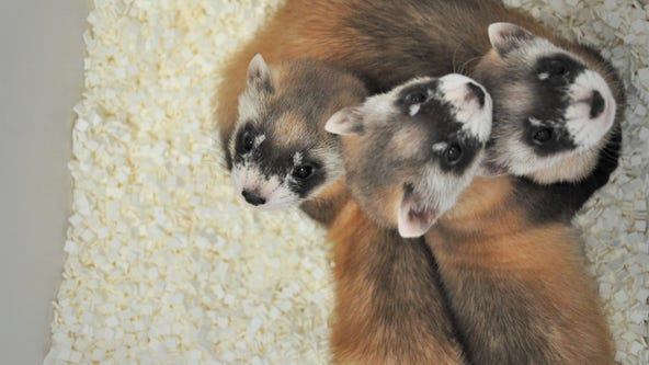 Phoenix Zoo asks public to name black-footed ferret litter