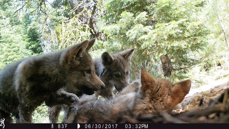 Lassen wolf pack