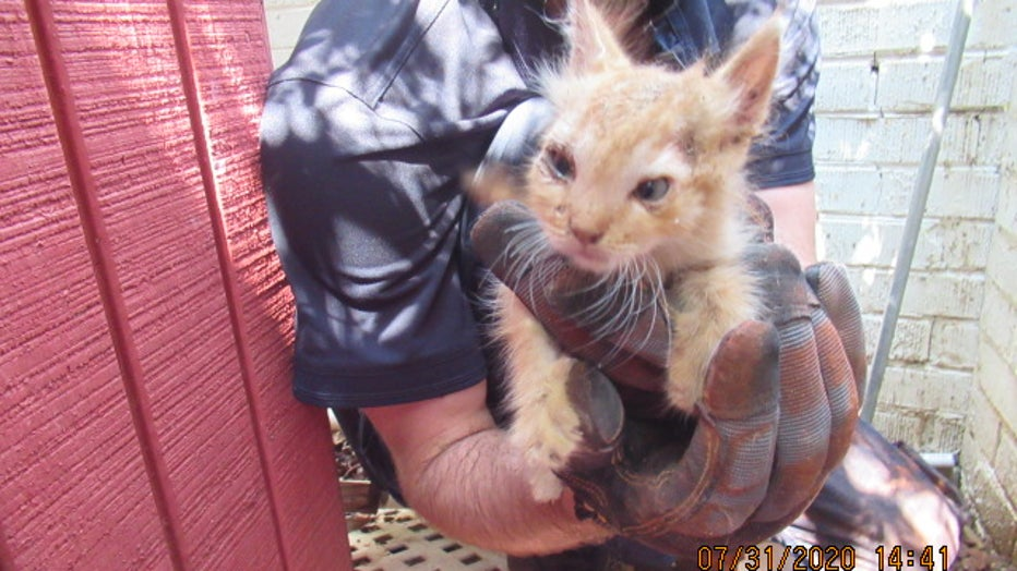 An AHS medical technician holds up the rescued kitten after spending an hour freeing it from a wall.