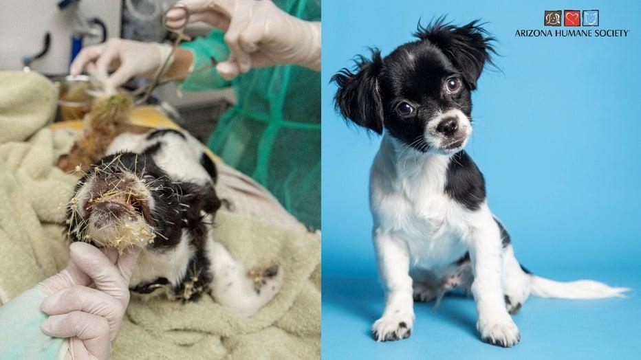 cholla charlie puppy