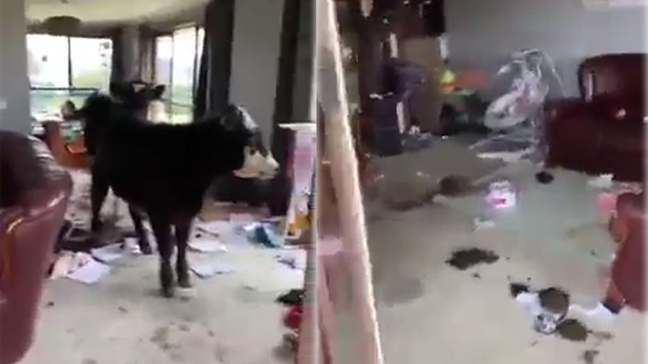 cows in house