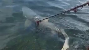 'Who lassoed this shark?' Family cuts shark loose from rope off Florida coast