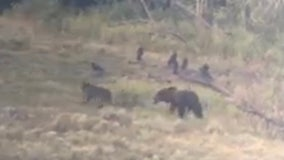 WATCH: Wolf bites grizzly bear in the butt