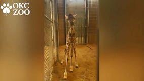 Baby giraffe: Oklahoma zoo welcomes healthy female calf