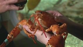 Rare orange lobster saved and donated to OdySea Aquarium